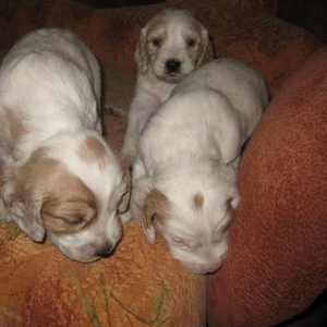 Продам щенков русской охотничьей спаниели