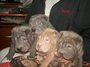 Продаются очаровательные щенки шарпея редкого окраса